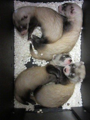 TZ Black Footed Ferret