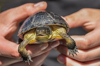 BABY BLANDING'S TURTLES RELEASED IN  THE FUTURE ROUGE NATIONAL URBAN PARK