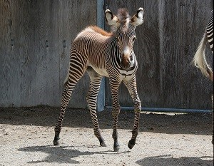 TORONTO ZOO WELCOMES THE BIRTH OF  GREVY'S ZEBRA FOAL
