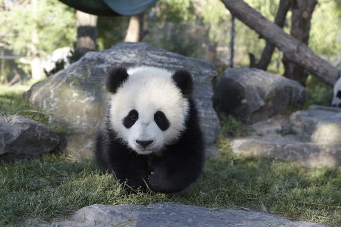 Toronto Zoo giant panda cubs Jia and Panpan
