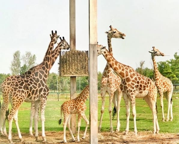 Giraffes At African Lion Safari