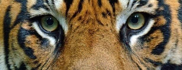 AMUR TIGERS RETURN TO THE TORONTO ZOO!